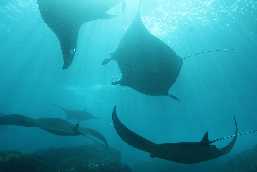 Manta rays seen on Bali scuba diving adventures for teens